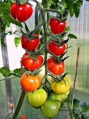 Jacob's Favourite Cherry tomato