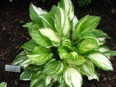Hosta 'Savannah Supreme' - Height: 16 inches - Width: 32 inches A beautiful plant, green leaves streaked with cream. Readily mutates to 'Savannah', must be frequently divided to maintain the true form. A high maintenance plant because of this, but worth it for its beauty. Fragrant lavender flowers in July.