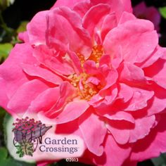 Livin' La Vida Rose- 2013  stunning new variety. The remarkable bright coral to flamingo pink flowers pop against the glossy, dark green foliage. This continous blooming rose produces lots of showy, full blooms with a high petal county. Its compact, upright growth and good branching make it an excellent container plant as well as a great landscape plant.