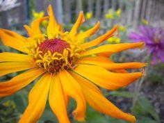 so pretty in my garden  Bright Jewels Cactus Flowered Zinnia Seeds by MoonlightMicroFarm, $2.00