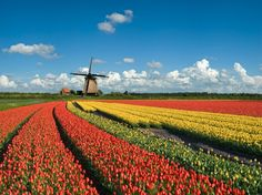 Originally Ottoman Turkish, Holland is famous for its' tulips. Back in the days, traders reportedly exchanged items such as four oxen, 1,000lbs of cheese, an entire bed, and even two tons of butter for one Viceroy tulip bulb.