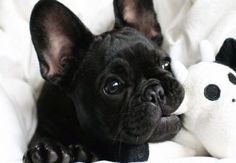 20 French Bulldog Puppies You will Love