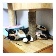 ✳︎ 今日の#てまき♪♪ 暑くてごーろごろ(*´꒳`*) でもしっかりカメラ目線してくれました♡ #猫 #ネコ #愛猫 #三毛猫 #にゃんすたぐらむ #cat #catstagram #instcat