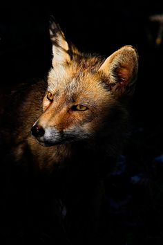 Fox portrait by Javier Abad on 500px #fox #animal