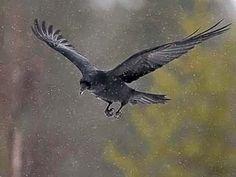 Korppi, Corvus corax - Linnut - LuontoPortti