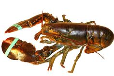 Maine Lobster Tails - Learn How to Buy, Cook and Eat Maine Lobster Tails Live Maine Lobster, Fresh Lobster, Lobster Meat, How To Cook Lobster, Lobster Tails, Cooked Lobster, Lobster Bake, Meat Delivery, Restaurants