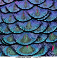 Exotic velvet Green and Blue Background made of Green Peacock Bird's Feathers in the close up details