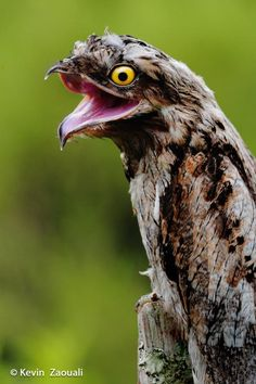 Reuzennachtzwaluw - Common Potoo (Nyctibius griseus)