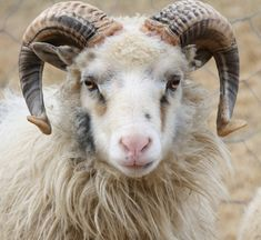 Old Norwegian sheep by haiver, via Flickr