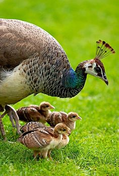 "Peahen With Her Peachicks.B: A Group of Peafowl are known as: ""An Ostentation"" or ""A Muster."")A Peahen With Her Peachicks.B: A Group of Peafowl are known as: ""An Ostentation"" or ""A Muster. Pretty Birds, Love Birds, Beautiful Birds, Animals Beautiful, Beautiful Family, Farm Animals, Animals And Pets, Cute Animals, Animals Images"