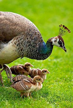 Mamãe Pavão e seu Filhotes <3