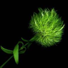 Hahnemuhle PHOTO RAG Fine Art Paper (other products available) - Green pompom flower on black background. - Image supplied by Fine Art Storehouse - Fine Art Print on Paper made in the UK Fine Art Prints, Framed Prints, Canvas Prints, Shades Of Green, Poster Size Prints, Black Backgrounds, Beautiful Flowers, Dark Flowers, Green Flowers
