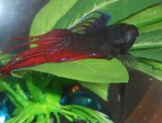 1000 images about betta fish behavior on pinterest for Betta fish personality