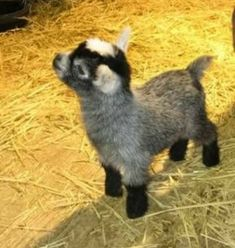 Baby Farm Animals, Baby Animals Pictures, Cute Little Animals, Cute Animal Pictures, Cute Funny Animals, Animals And Pets, Animals Images, Mini Goats, Cute Goats