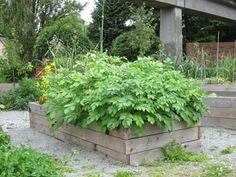 potatoes growing in a raised bed | heavypetal.ca
