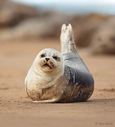 """""""SITTING PRETTY"""" by Steve Mackay — A shot of a Common Seal pup, the out of focus brown blobs in the upper background are Adult Grey Seals. Thanks for looking, cheers! :)"""