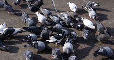Soprattutto se si abita in città, i piccioni possono essere un problema fastidioso da affrontare. Non solo, sembra che questi volatili abbiano una grande