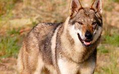 Addestrare il vostro cane lupo cecoslovacco #addestramento #cani #lupocecoslovacco