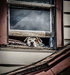 Un Chien à la Fenêtre - Que ce soit un Animal Domestique attendant tranquillement le retour de son propriétaire, ou un Animal Sauvage investissant les lieux d'une maison abandonnée, les fenêtres sont de véritables passerelles vers le monde extérieur, inspirant ainsi attente et curiosité.