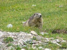 Marmotte sur le sentier du refuge de la Femma / Parc national de la Vanoise / Savoie / Alpes