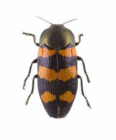 Australian Jewel beetle, dried specimen, Australia