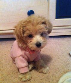 Red maltipoo tiny toy pup♥ adorrrrrable DreamBoard