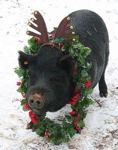 Merry Christmas from Reindeer Piggy Noel Christmas, Christmas Animals, Country Christmas, Christmas Tables, Reindeer Christmas, Scandinavian Christmas, Modern Christmas, Funny Christmas, Farm Animals