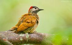 Golden-olive Woodpecker Colaptes rubiginosus - Google Search