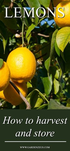 How to harvest and store your homegrown lemons #lemons #citrus #gardening