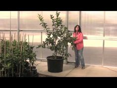 Are you interested in learning how to grow lemon trees in pots? If so, this article will provide you with 18 PROVEN tips for growing lemon trees in pots! Lemon Tree Potted, Citrus Trees, Potted Trees, Trees To Plant, Tree Planting, Home Vegetable Garden, Fruit Garden, Edible Garden, Growing Lemon Trees