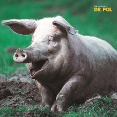 Q: What do you call a pig with laryngitis? A: Disgruntled.