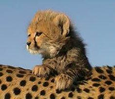 Resultado de imagen de guepardo