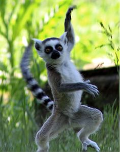 lemurs in madagascar assignment 2 essay The importance of ecotourism  when ecotourists pay to see lemurs in madagascar or toucans in brazil instead of  to complete my essay assignment thank you for.