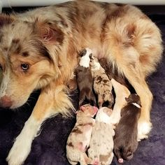 HoneyCreek Australian Shepherds: Dixie's Puppies are here! As of this posting Aussie Puppies, Australian Shepherds, Corgi, Animals, Aussie Shepherd, Corgis, Animales, Animaux, Australian Shepherd