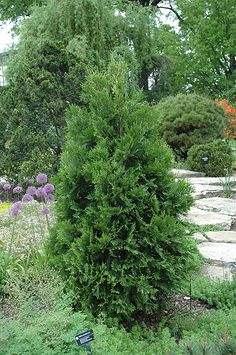 Wansdyke Silver Arborvitae (Thuja occidentalis 'Wansdyke Silver') at Make It Green Garden Centre