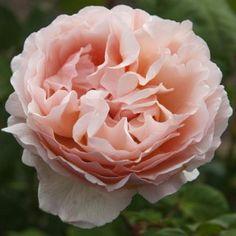 Princesse Charlene de Monaco® is a very beautiful Romantica® type Hybrid Tea rose. Floribunda Roses, Shrub Roses, Fragrant Roses, Comment Planter Des Roses, Rose Diseases, Heirloom Roses, Rose Varieties, Rose Trees, Planting Roses