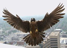 Peregrine Falcons are once again starting to claim their territory on Ohio's tall skyscrapers. These falcons have made a comeback in Ohio and nest in all major cities across the state. Falcon Tattoo, Peregrine Falcon, Red Tailed Hawk, Big Bird, Small Birds, Birds Of Prey, Fauna, Bird Feathers, Beautiful Birds