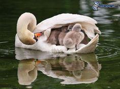 Schwan und Jungtiere, Wasser, See