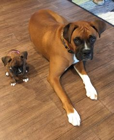 #dogs #Boxers #puppies
