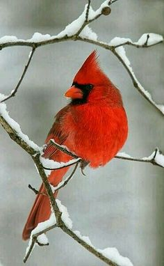 I miss seeing these gorgeous Cardinals, along with the snow. Unfortunately, the climate in which I live, isn't conducive to these birds  (we have them, however, they blend in with the desert ). Cardinals and snow, how I miss them. ...