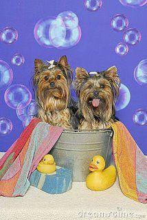 Rub-a-dub-dub, two Yorkies in a tub!