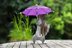 Eekhoorn verbaasd om paraplu|Opmerkelijk| Telegraaf.nl
