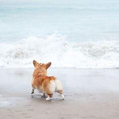#corgi #beach