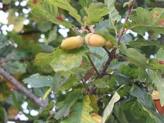 English oak Quercus robur bonsai tree seeds - 5 acorns