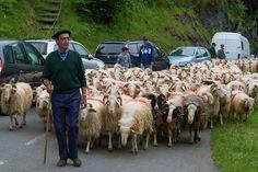 La transhumance dans les Pyrénées Béarnaises est une tradition ancestrale toujours célébrée comme il se doit sur le territoire. Le troupeau est au complet berger en tête.    All rights reserved - Copyright © Nicolas Fernandez    Le site officiel des Pyrénées Béarnaises:  pyrenees-bearnaises.com