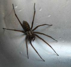 Species: Tegenaria sp.  Credit: Stuart Munn
