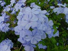 Planted by pear tree and in back planting area. Blooms light blue flowers from early spring to fall, evergreen, drought tolerant, full sun, x wide Perennial Bushes, Shrubs, Perennials, Florida Lanai, Naples Florida, Blue Plumbago, Light Blue Flowers, Drought Tolerant, Early Spring