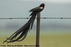 Long-tailed widowbird (Euplectes progne) | Hanenstaartwidavink / Long-tailed Widowbird photo - Rick & José van ...