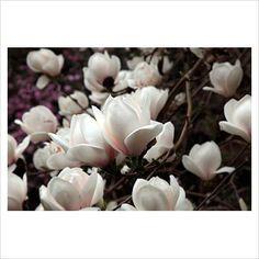 Magnolia 'Sayonara' - Valley Gardens, Windsor - Image No: 0319038 - GAP Gardens, garden and plant stock photography Plant Pictures, Magnolias, Climbers, Trees To Plant, Garden Plants, Hydrangea, Planting, Shrubs, Landscape Design