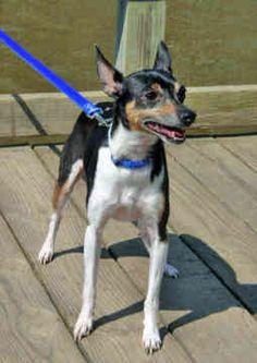 Miniature Rat Terriers - Dogs -  Blue